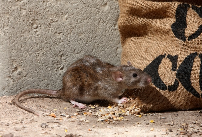 A rodent contaminating a winter food supply.