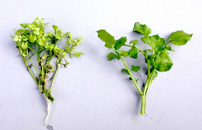 Two types of edible watercress.